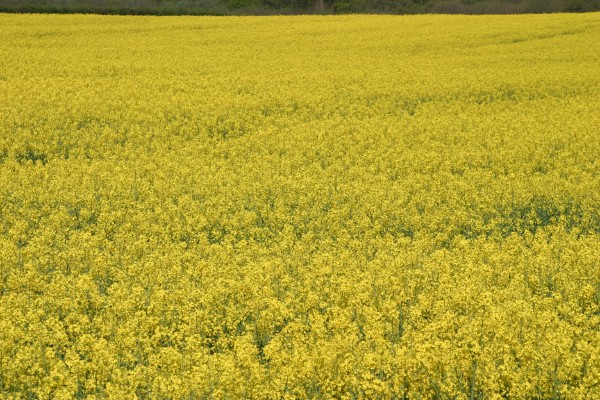 Cornwall Weblog: Field of mustard, Wotton, Surrey (IMG_4176.JPG, 600 x 400, 116.0K)