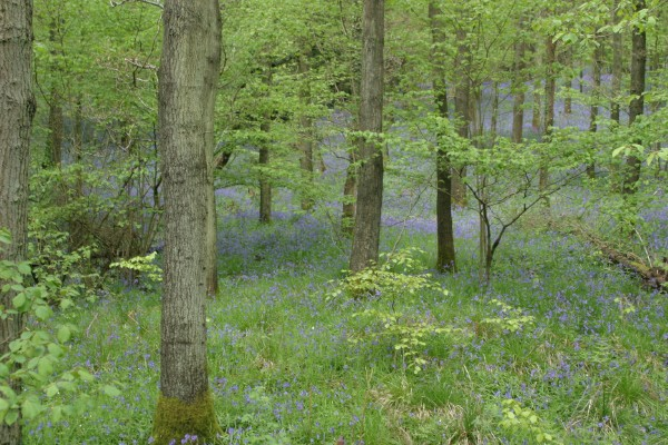 Cornwall Weblog: Blue bells in Frank's Wood, Surrey (IMG_4455.JPG, 600 x 400, 108.0K)